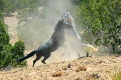 stallion-fight-slide